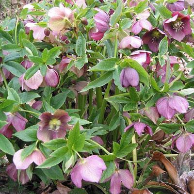 Hellebore plants