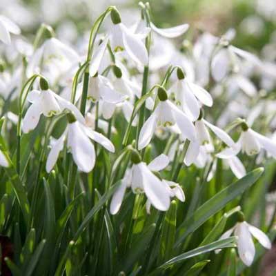 Snowdrops plant