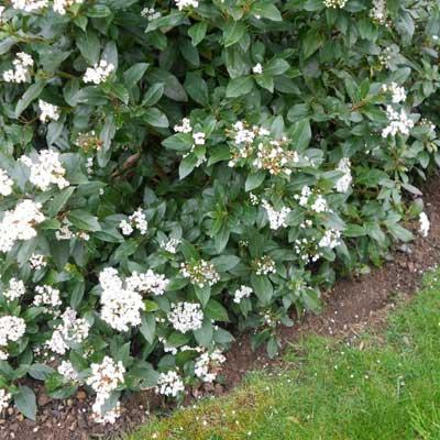 Viburnum plant