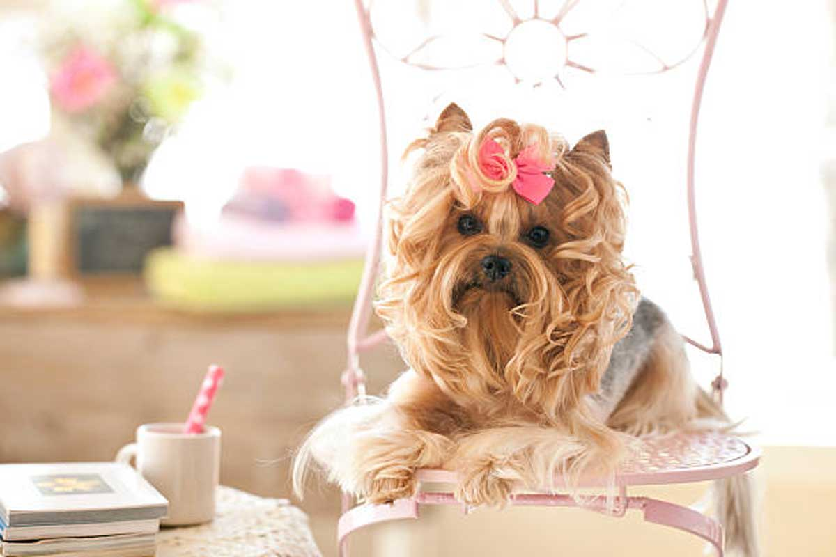 20+ Adorable Yorkie Haircuts You Should to Try For Your Puppy